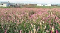 Nghệ An: Hoa mào gà đua sắc mọc giữa cánh đồng hoa hướng dương