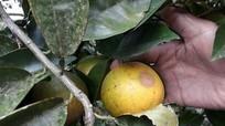 Cam rụng hàng loạt ở Quỳnh Lưu, người trồng cam khốn đốn