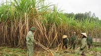 Nghệ An: Thiếu lao động  thu hoạch cây nguyên liệu