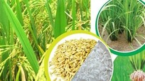 Xuất khẩu gạo tăng mạnh, sẽ vượt xa năm 2016