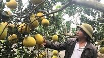 Gốc bưởi Diễn hơn 200 quả ở Nghệ An
