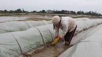 Nông dân Nghệ An chống rét cho mạ xuân