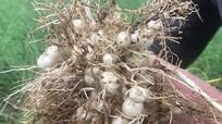 Nông dân phấn khởi vì hành tăm thu hoạch sớm giá cao ngất ngưởng
