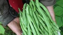 Nông dân thu nhập trên 100 triệu/ha từ trồng đậu cô ve