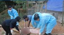 """Lạng Sơn: Về thông tin đàn lợn chết hàng loạt sau khi """"nôn ra máu"""""""