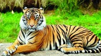 Hổ ở vườn thú New York nhiễm coronavirus