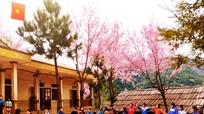 Quyến rũ hoa anh đào nơi vùng biên Nghệ An