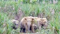 Duy trì tốt sinh cảnh tự nhiên để bảo tồn bền vững các cá thể voi ở Nghệ An