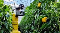 Robot công nghệ cao giúp nông dân hái ớt chuông