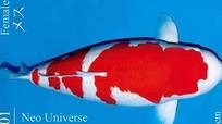 """Vì sao cá Koi """"Huyền thoại"""" giá tới 42 tỷ đồng, đắt nhất lịch sử?"""