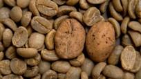 Cây cà phê đứng trước nguy cơ tuyệt chủng ngoài tự nhiên