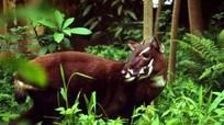 Loài thú quý hiếm nhất thế giới chỉ còn vài cá thể ở Việt Nam