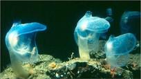 Phát hiện sinh vật chưa từng thấy ở đáy sâu nhất Ấn Độ Dương