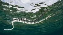 Khoảnh khắc đại bàng xé xác rắn cạp nia biển