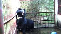 Sẽ chấm dứt hoàn toàn việc nuôi gấu lấy mật bất hợp pháp ở Nghệ An