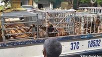Nghệ An khởi tố vụ nuôi hổ trái phép