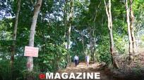 Xanh rừng trồng trên đất Quỳ Châu