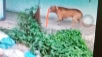 Kinh hãi chó Pitbull cắn chết 1 người rồi cắn chủ trọng thương