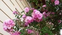 8 loài hoa chữa bệnh nên trồng trong sân nhà