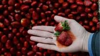 Dâu tây có thể chứa đến 20 loại thuốc trừ sâu?