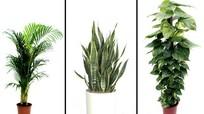 5 cây cảnh dễ trồng, giúp lọc không khí trong nhà