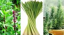 4 loại cây trồng trong nhà giúp đuổi muỗi phòng sốt xuất huyết