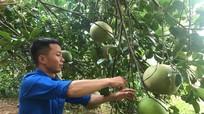 """Nam thanh niên dân tộc Thổ """"vang danh"""" với cây bưởi hồng Quang Tiến"""