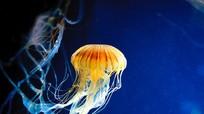 Băng gạc làm từ sứa giúp chữa lành vết loét