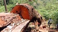 Công an truy tìm chủ mưu phá 33 cây gỗ lim xanh hàng trăm năm tuổi