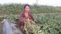 Một hộ dân ở Nghệ An bị kẻ gian chặt phá 5 sào dưa hấu chuẩn bị thu hoạch