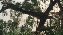 Gãy nhánh cây đa cổ thụ, 4 học sinh tiểu học bị thương