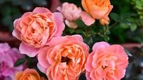 Hàng nghìn cây hoa hồng Bulgaria khoe sắc trước lễ hội