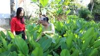 Nghề trồng lá dong gói bánh 'lên ngôi' ở xã vùng Bắc Nghệ
