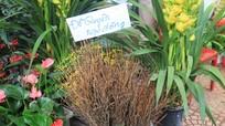 Có nên mua hoa đỗ quyên 'ngủ đông' để chưng Tết?