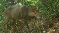 Việt Nam tìm thấy loài thú quý hiếm nhất ASEAN