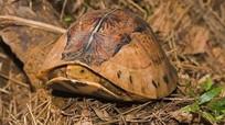 Rùa hộp trán vàng siêu hiếm của Việt Nam