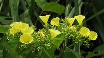 Bìm bôi hoa vàng có thể làm chết dần các cánh rừng Việt Nam