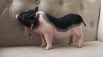 Bộ NN&PTNT đề nghị kiểm soát chặt việc buôn bán lợn cảnh mini