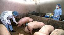 Bị phạt 10 triệu đồng vì bịa đặt thông tin đào 800 con lợn bệnh lên bán