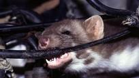 Những giải pháp tối ưu chống chuột vào khoang máy ô tô