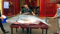 Cận cảnh cá tra nặng 1,6 tạ 'vượt biên' từ Campuchia về Việt Nam