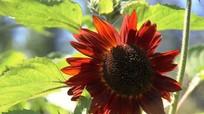 Hoa hướng dương đỏ 'gây sốt' sau Tết