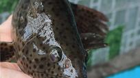Nuôi cá mú chấm đỏ, dân vùng đầm Nại đổi đời