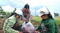 Nguy cơ 600 ha khoai lang Nhật bị bỏ thối