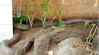 Bắt được cặp rắn hổ mây 'khủng' gần 60kg