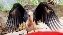 Con chim lạ có sải cánh rộng 2 mét được nông dân Hà Tĩnh bắt trên đồng ruộng
