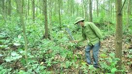 Keo đến kỳ thu hoạch vẫn không thể khai thác vì vướng rừng đặc dụng