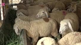 Chủ trang trại dê, cừu ở phố kiếm mỗi tháng 50 triệu đồng