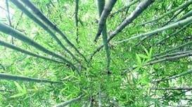 Ngắm rừng măng ở miền Tây Nghệ An đẹp như phim dã sử