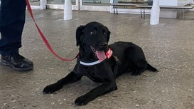 Australia thử nghiệm dùng chó phát hiện hành khách mắc Covid-19